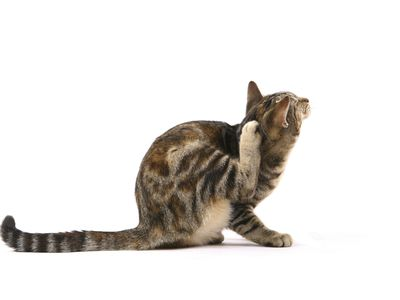 Treating Flea Allergies In Dogs And Cats