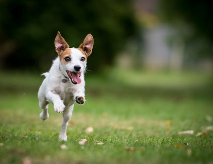 A Jack Russell Terrier running in a park