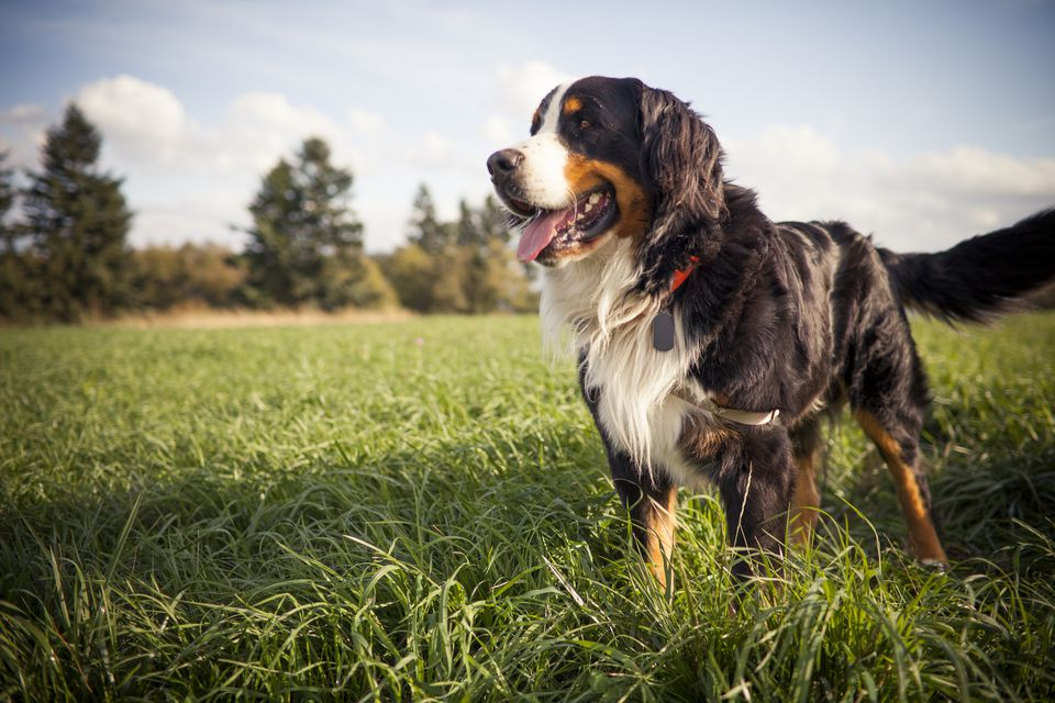A picture of a Bernese Mountain dog standing in grassy on a sunny day