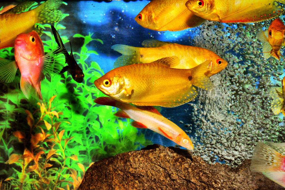 Numerous colorful fish swimming in a tank.
