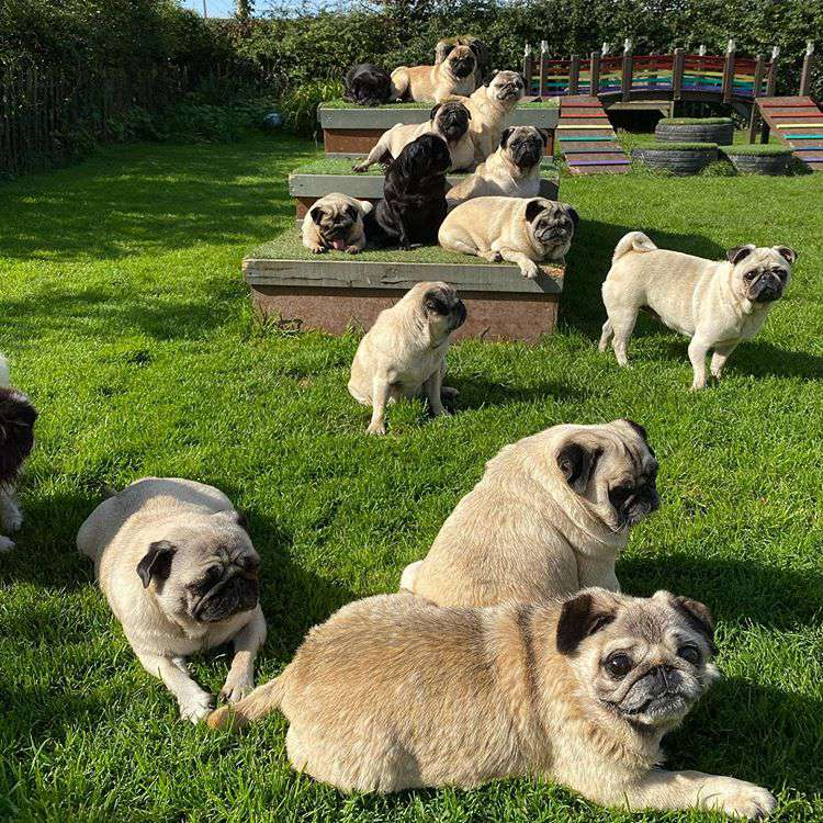 Several black and white pugs laying on green grass.