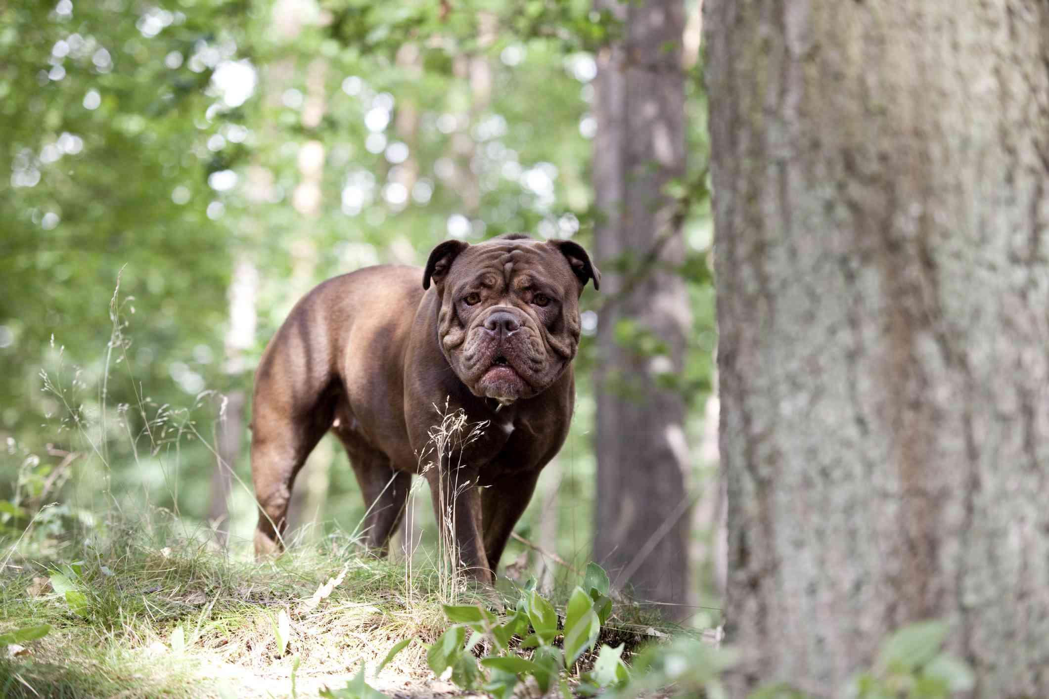 Bulldogge inglés antiguo