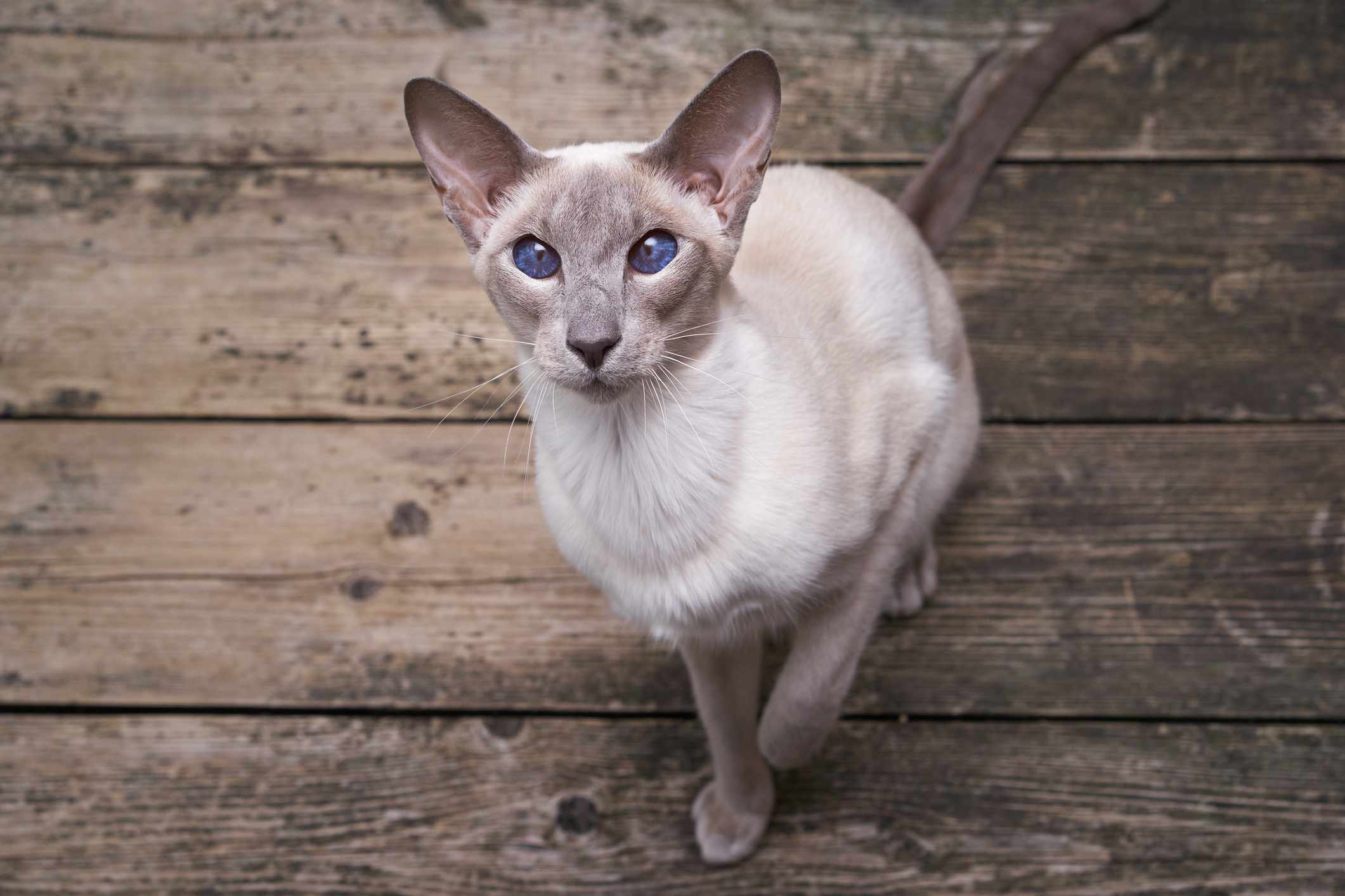 An Oriental Shorthair cat looking into the camera.