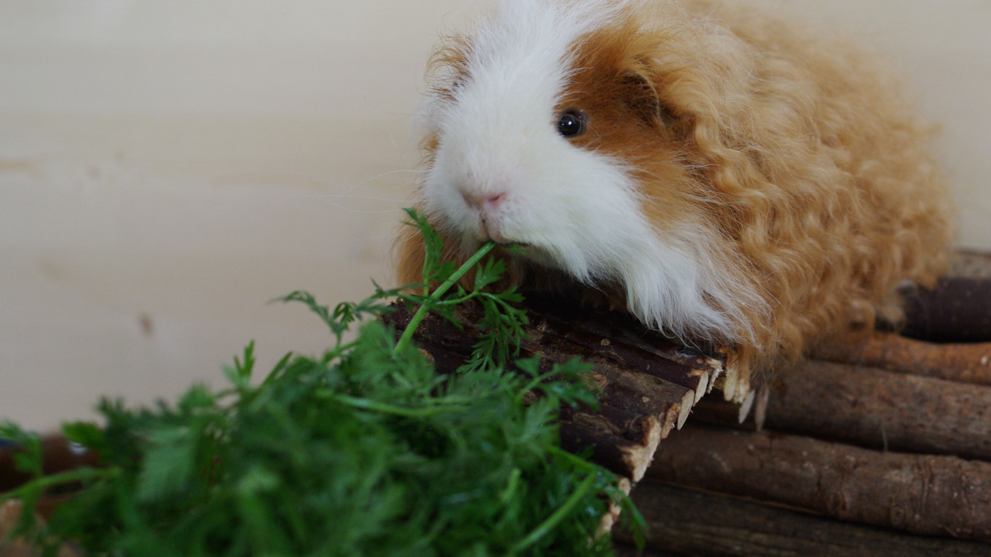 pellet free diet for guinea pigs