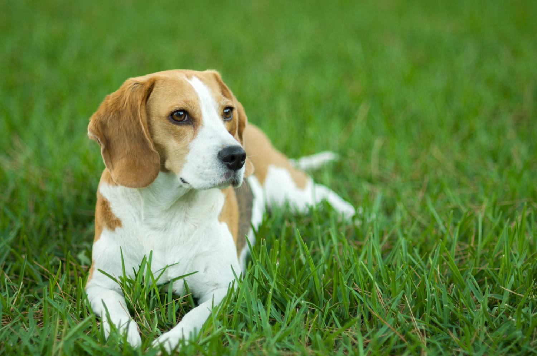 hound group - beagle
