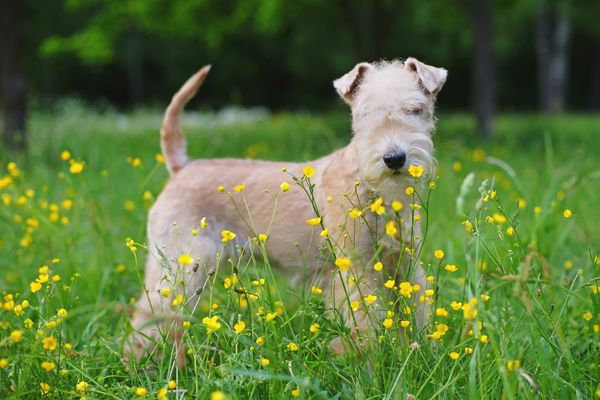 A Lakeland Terrier in a meadow