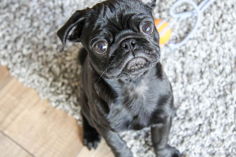 How to remove pet stains on rugs