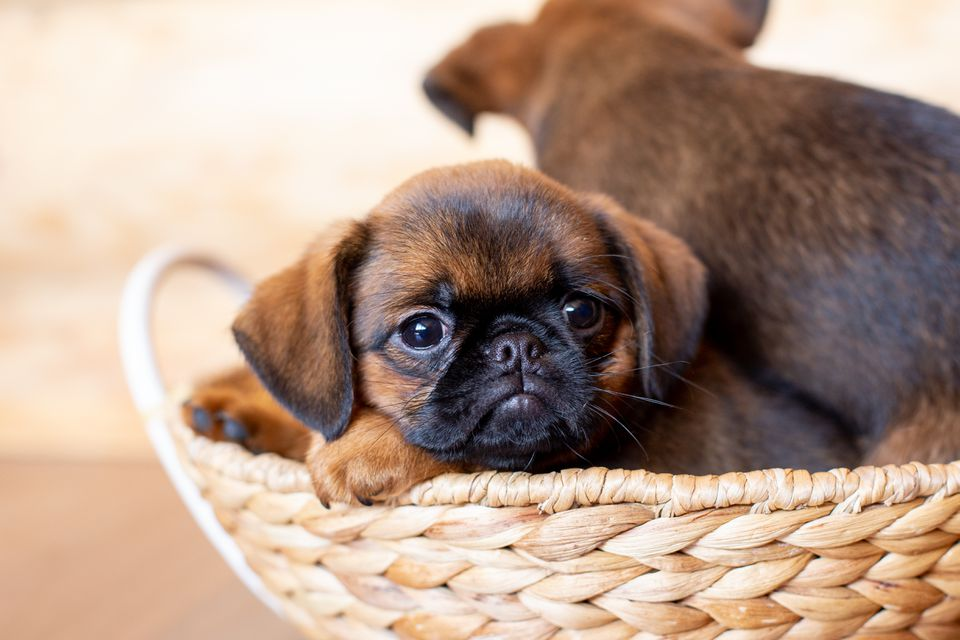 Close-up portrait of brown cute Brussels griffon puppy lying in a wicker basket on a wooden background.