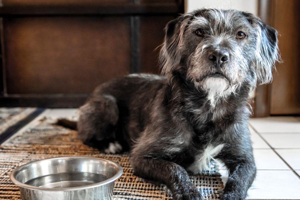 Senior dog sitting next to bowl of water