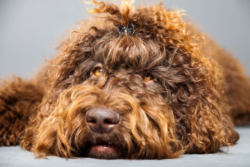 A close-up of a Barbet dog.