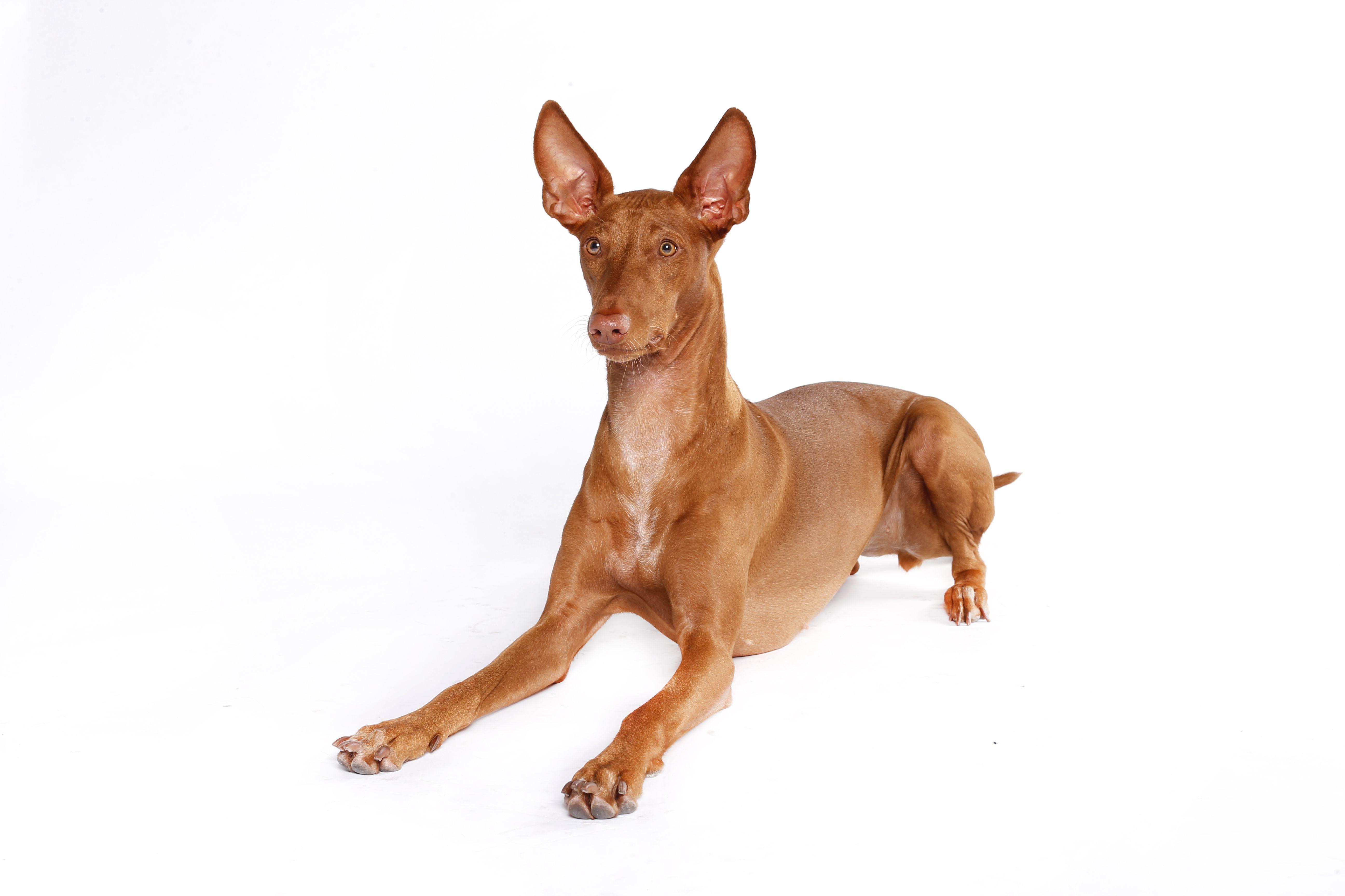 Pharaoh hound lying down