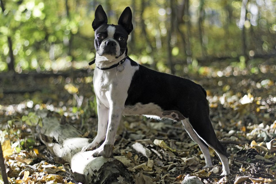Boston Terrier on a Log