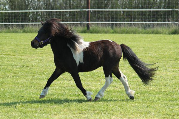 Brown-and-white Shetland pony trotting across a field