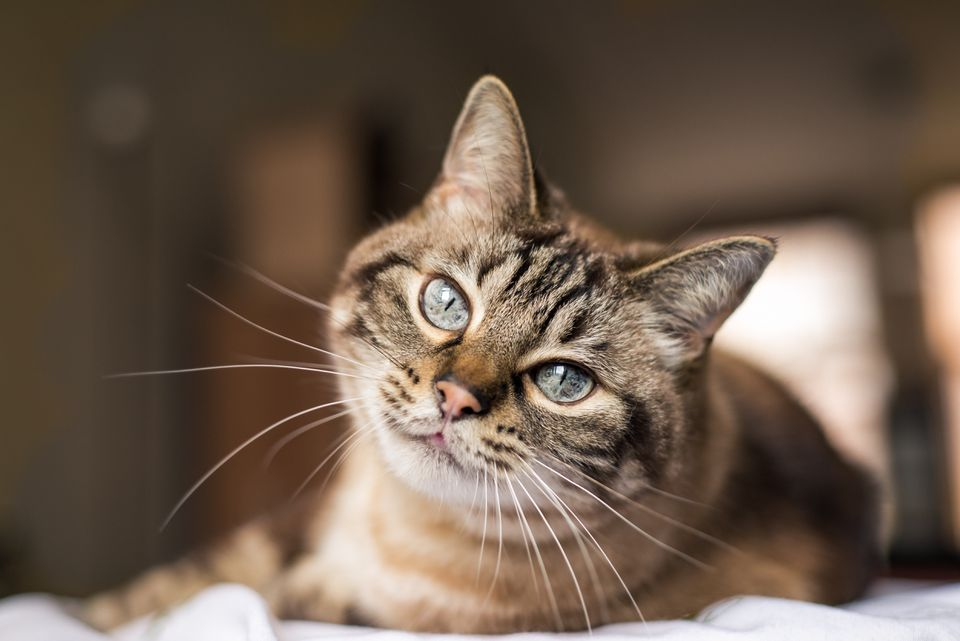 Gato con ojos azules mirando a la cámara