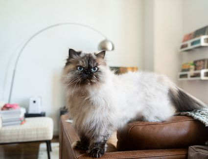 Himalayan cat on brown leather couch in living room