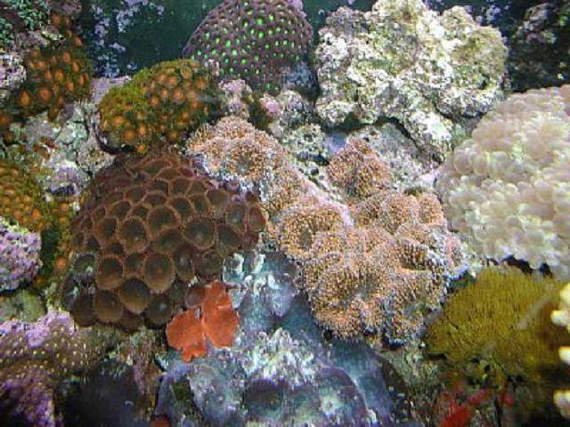 Ricordea Coral