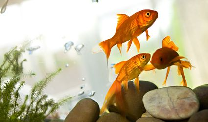 Three goldfish in a tank with plants and rocks
