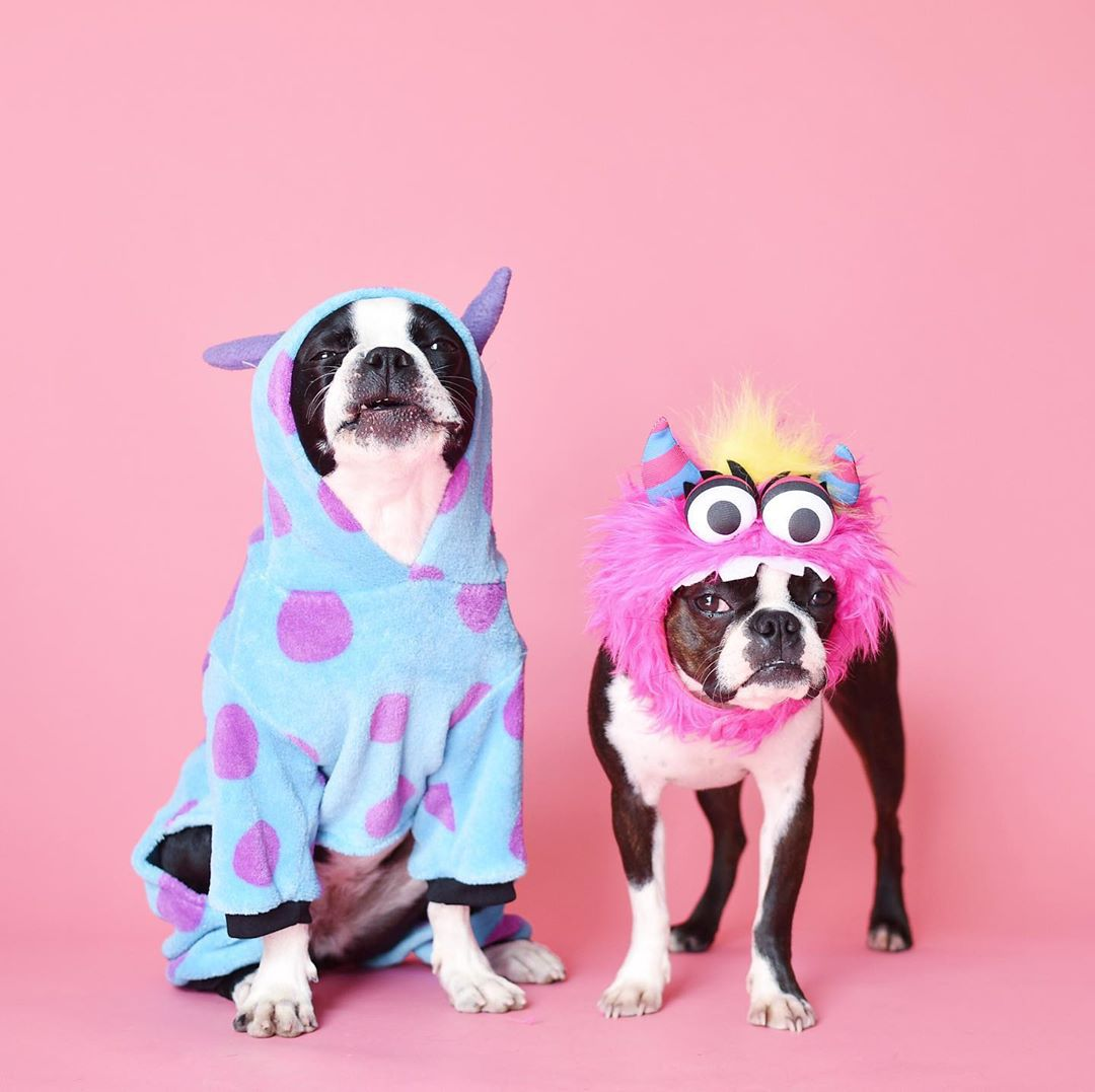 Two boston terriers dressed up as monsters and standing in front of a pink background.
