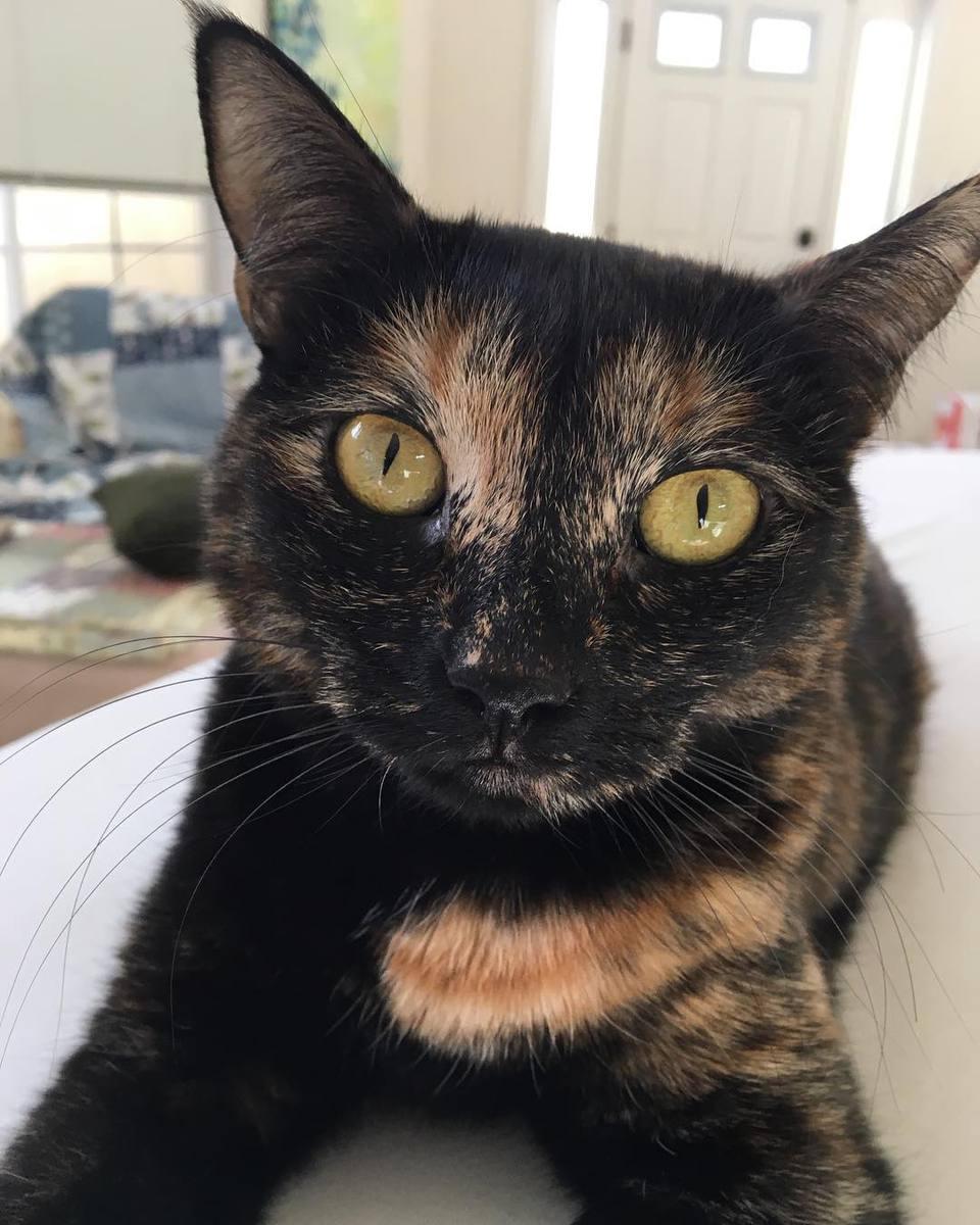 Black tortoiseshell cat staring into the camera.