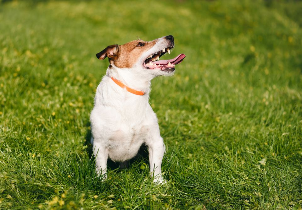 Dog wearing flea collar in the grass