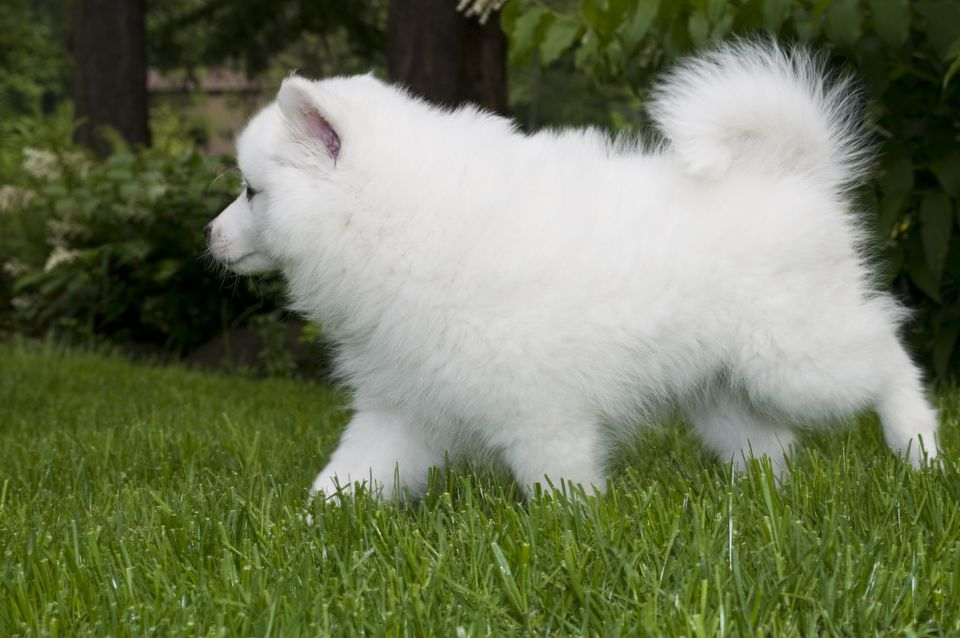 Cachorro esquimal americano
