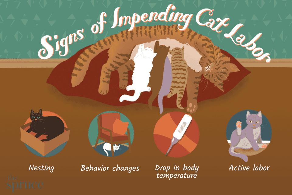cat labor