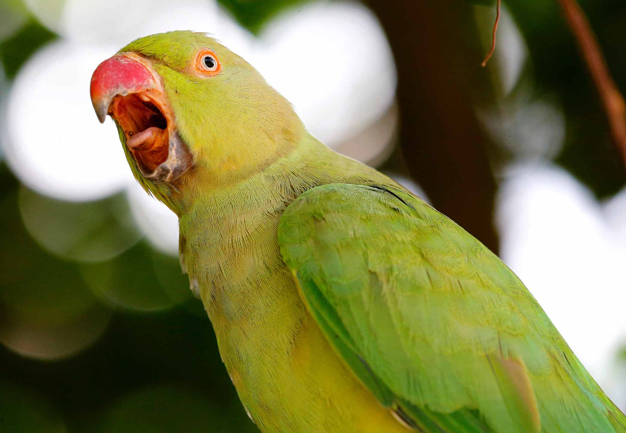 Green and yellow parrot squawking.