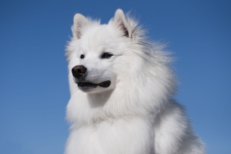 american eskimo dog against blue sky