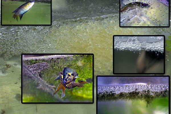 Breeding The Original Tropical Fish, The Paradise Fish