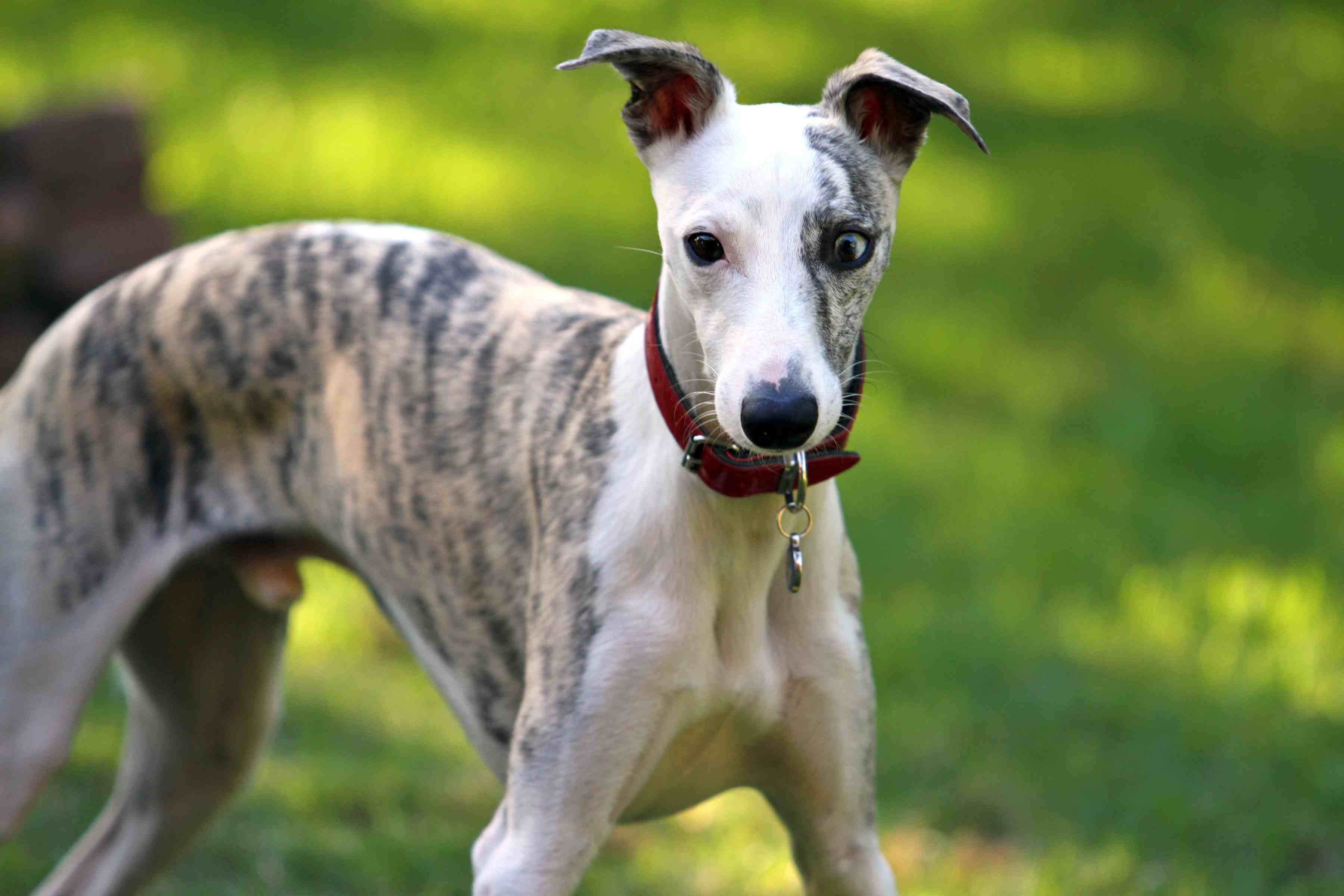brindle and white whippet