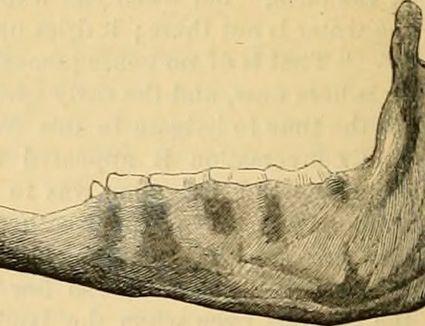 horse lower jaw teeth
