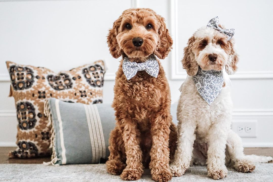 Two doodle dogs wearing bows and looking at the camera.