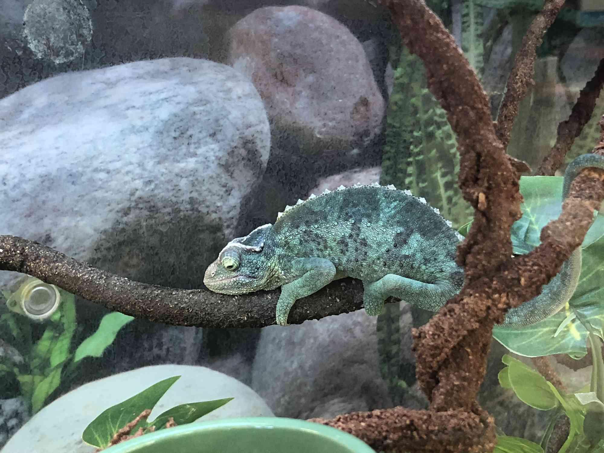 Chameleon in cage