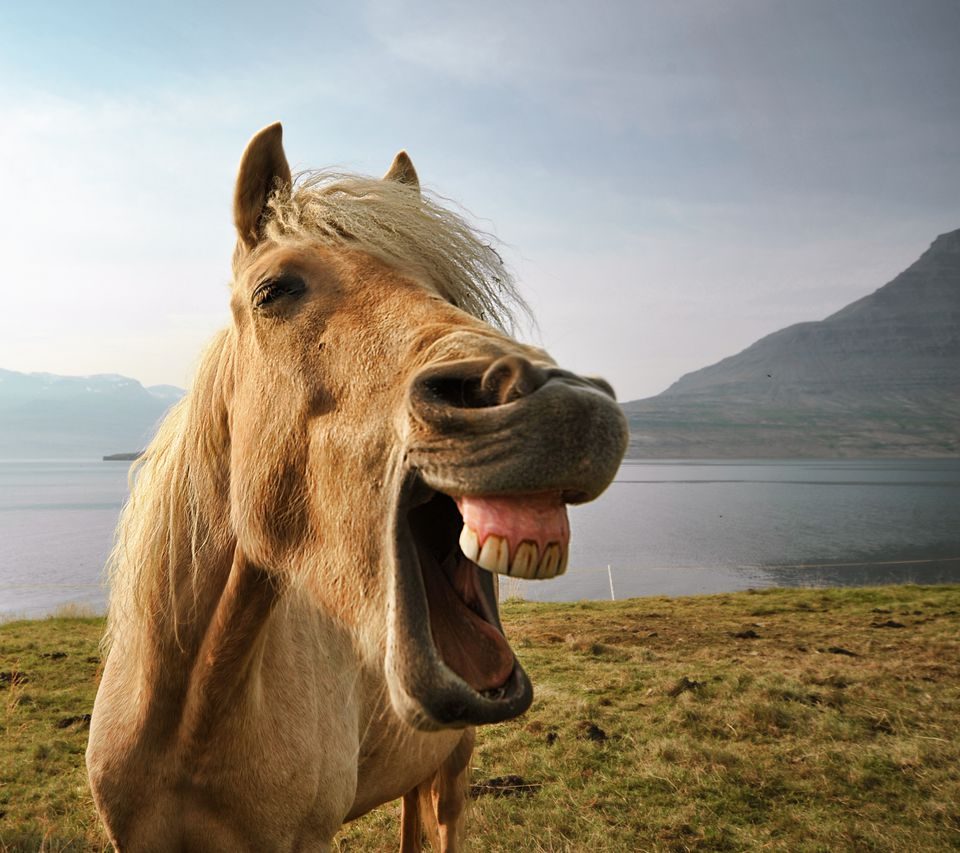 Portrait of Icelandic horse by lake