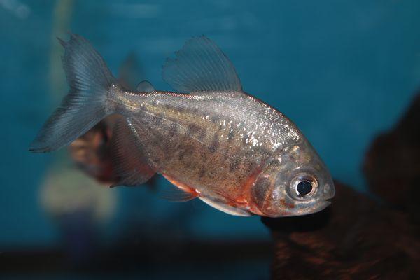 Red-bellied pacu freshwater aquarium fish