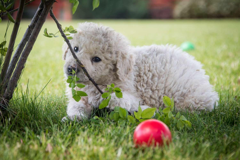 kovasz puppy