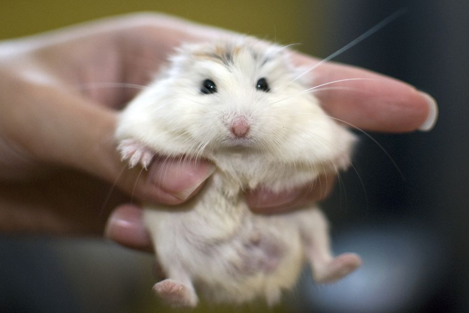A white face roborovski dwarf hamster (pet) held