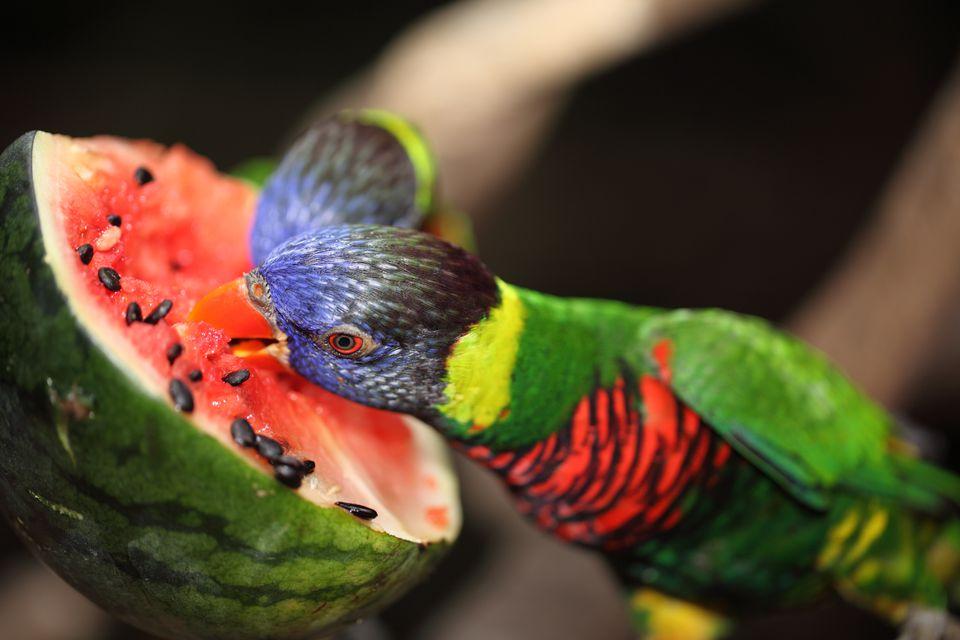 Beautiful parrot eat watermelon