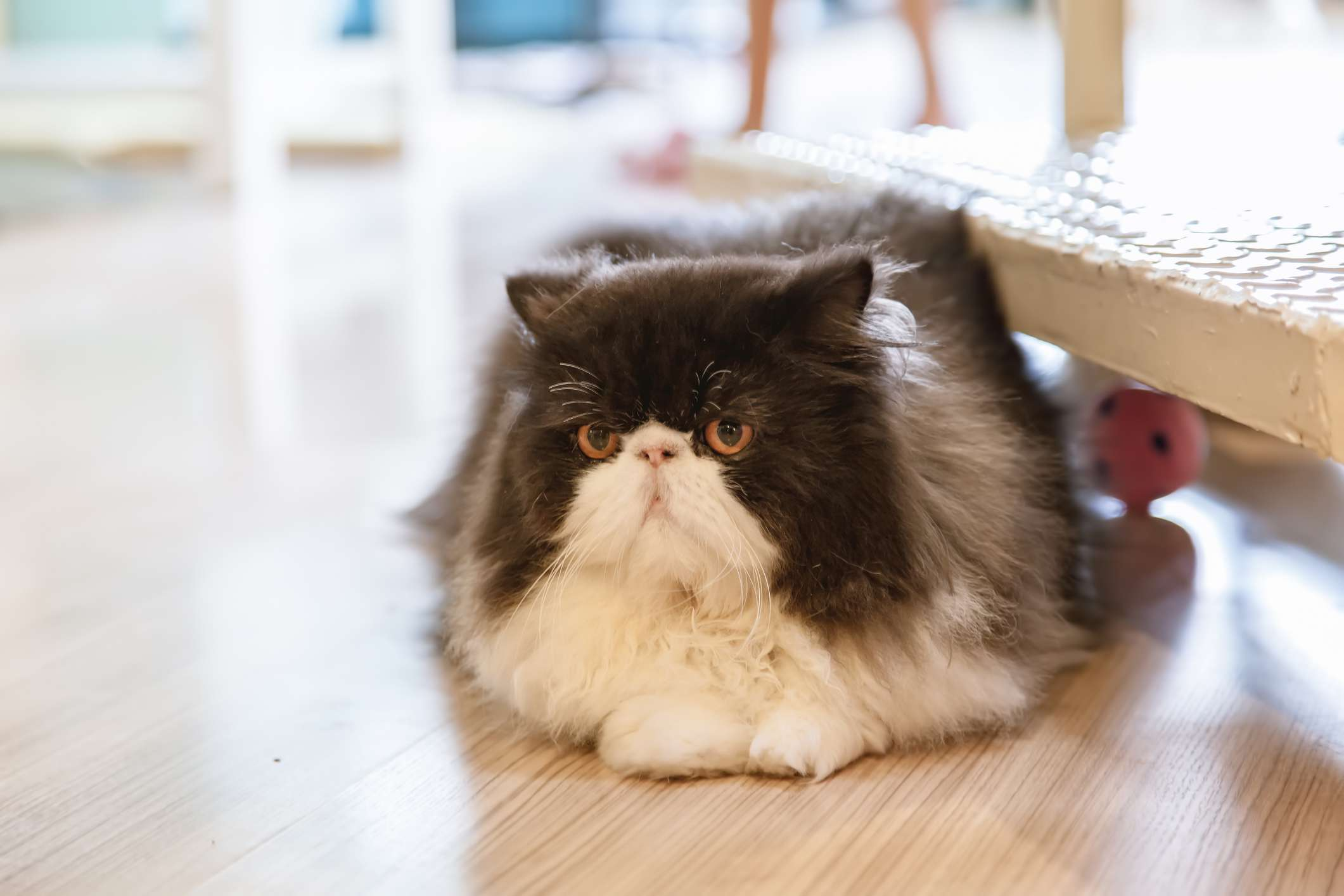 Black and white Persian cat lying on floor