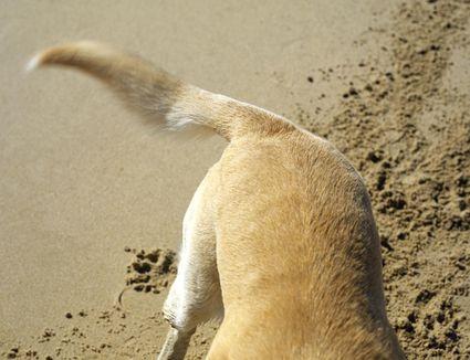 Yellow Labrador digging on beach