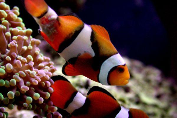 Clownfish with Lymphocystis