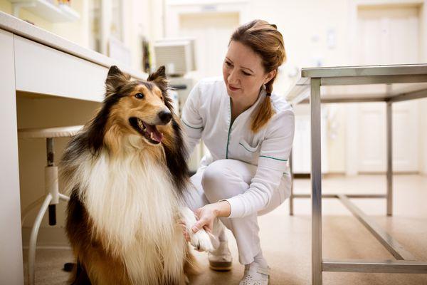 Collie at animal hospital