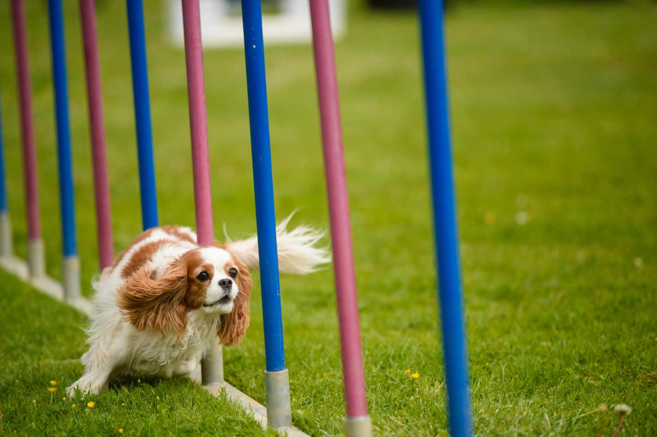 Cavalier King Charles Spaniel taking part in agility