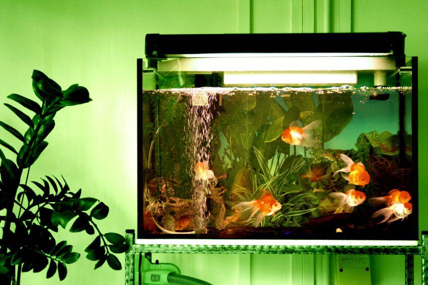 Goldfish fish tank