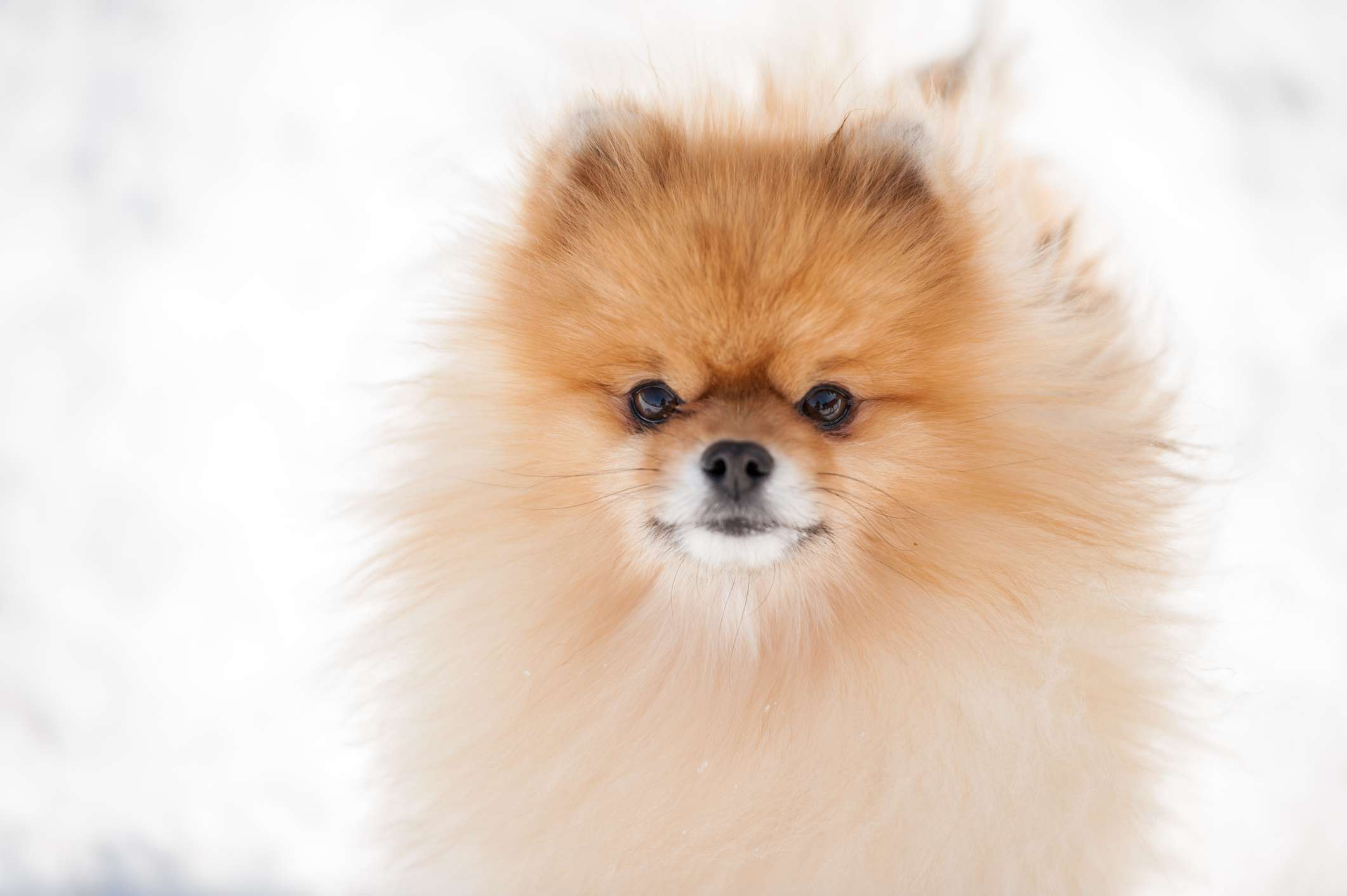 Pomeranian headshot with a blurred snowy background