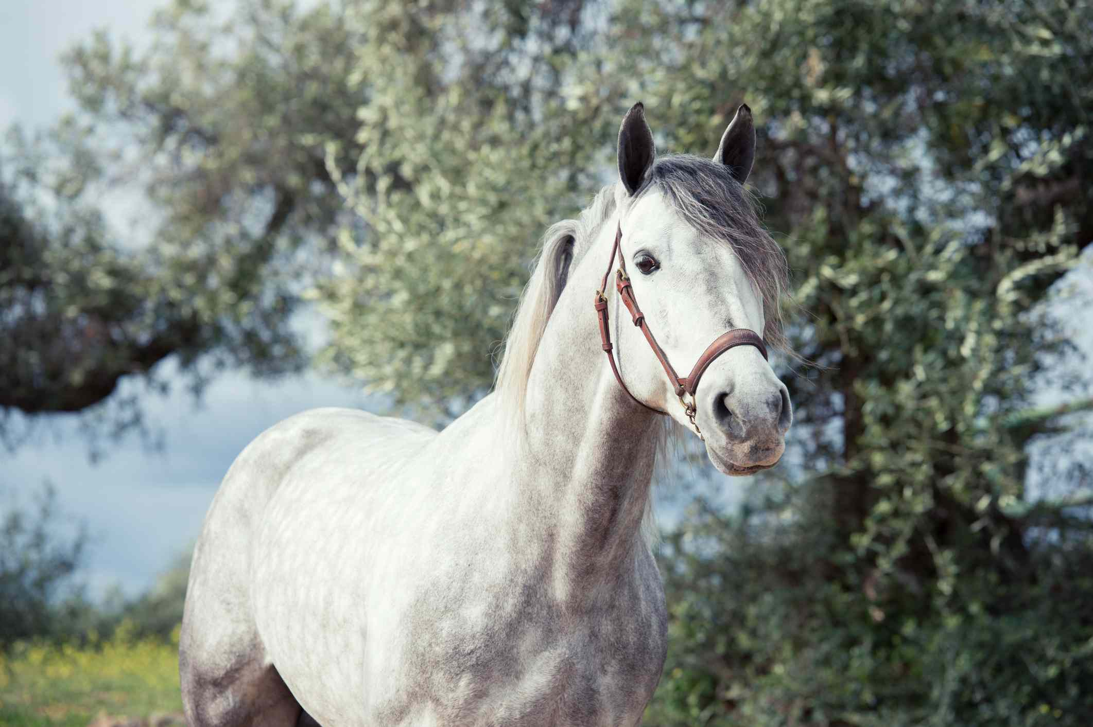 Grey Andalusian horse wearing a bridle in a meadow