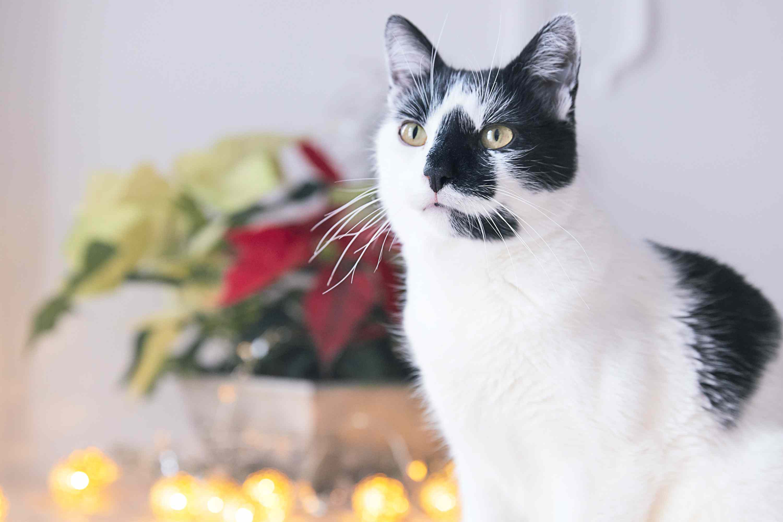Gato sentado cerca de flor de pascua