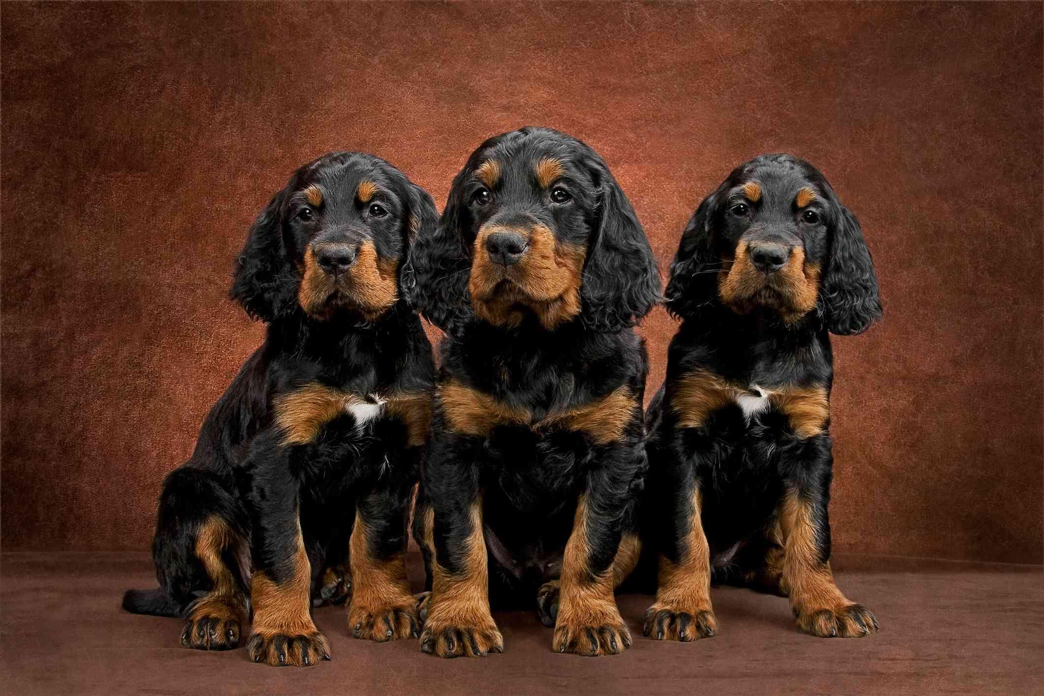 Three Gordon Setter Puppies