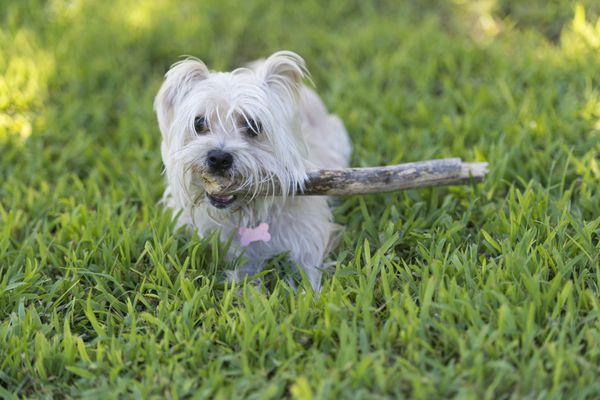 Morkie dog fetching stick