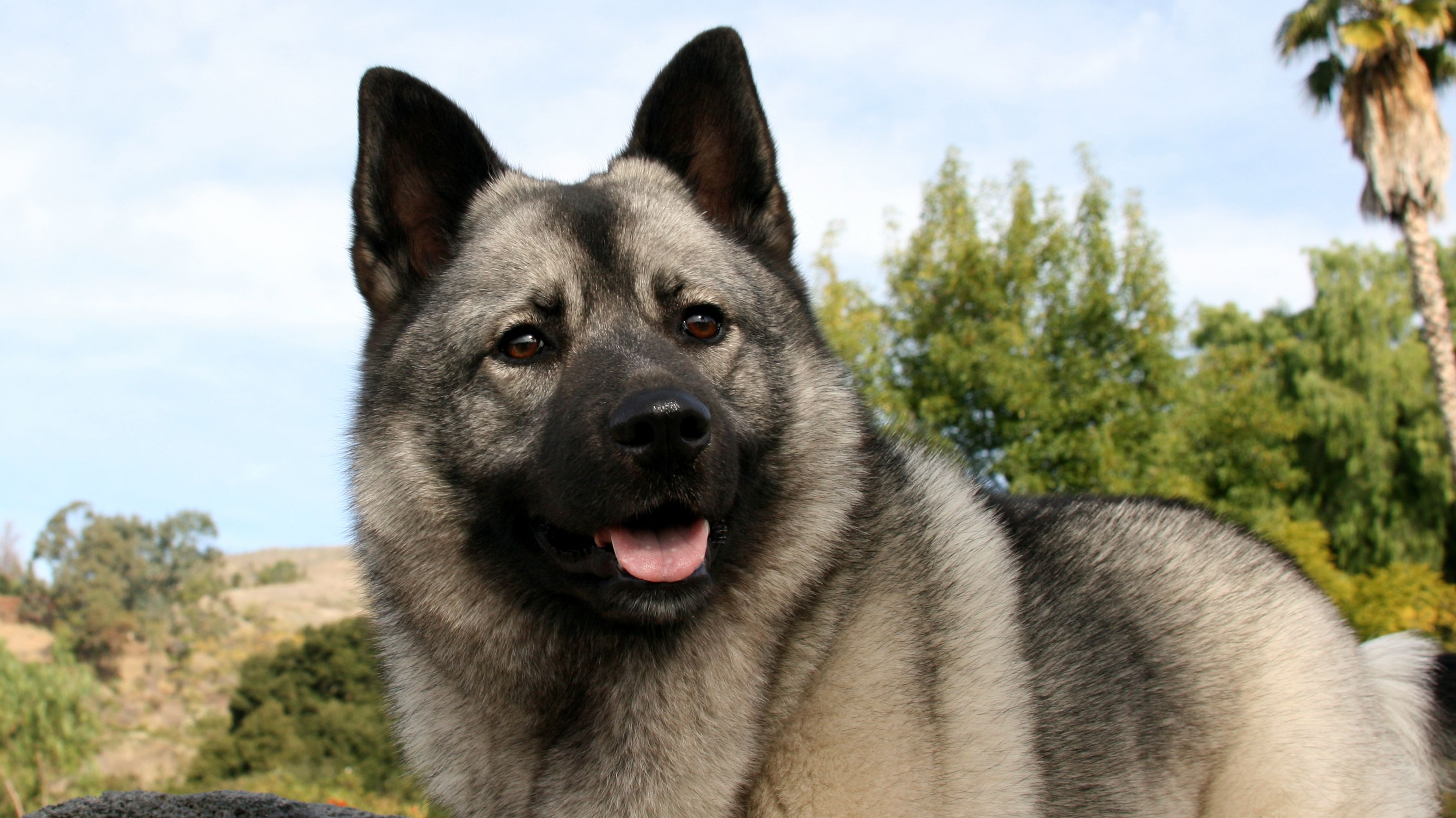 5 Norwegian Dog Breeds